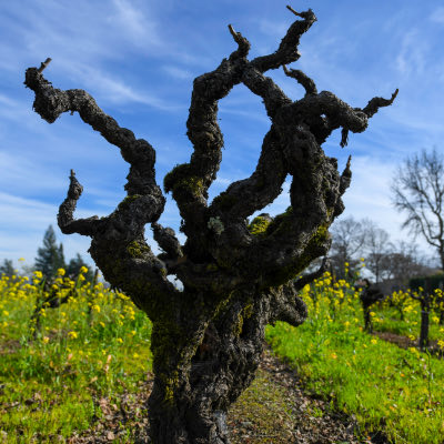Wines from Old Vines